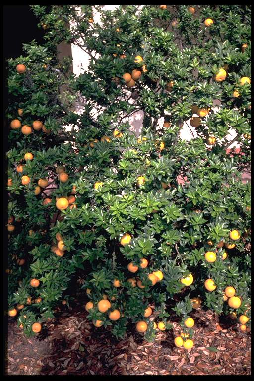 Image gallery for Citrus myrtifolia